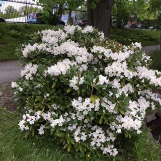 50th Anniversary Rhododendron