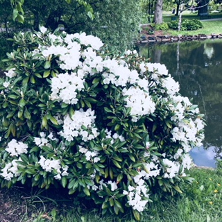 50th Anniversary Rhododendron2